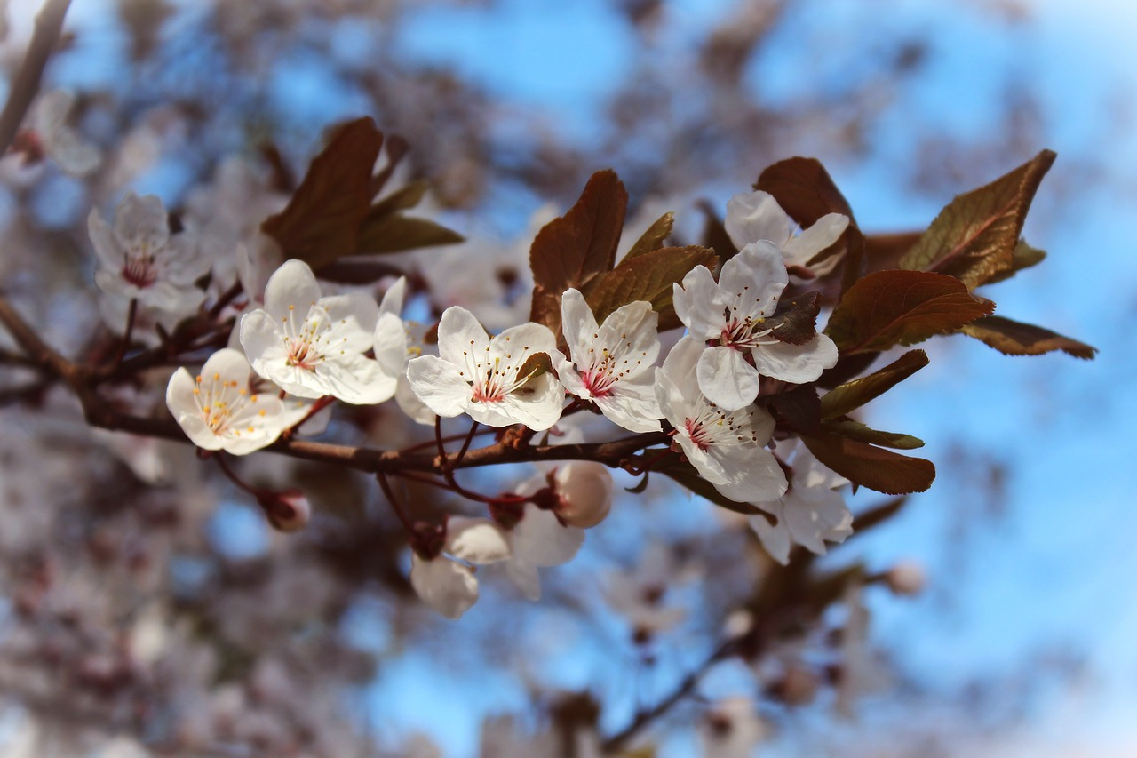 almond-flowers-718078_1280