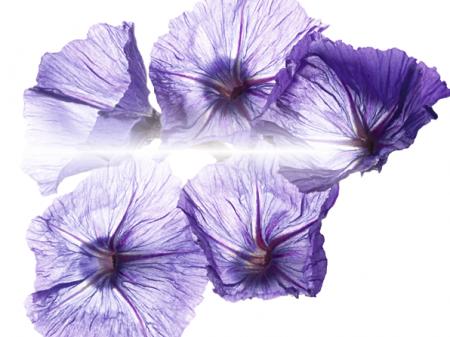 flor-siempre-viva-azul